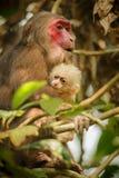 与红脸的树桩被盯梢的短尾猿在绿色密林 库存照片