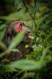 与红脸的树桩被盯梢的短尾猿在绿色密林 免版税库存图片