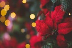 与红色一品红花的圣诞节装饰 库存图片