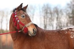 与红色三角背心的美丽的棕色马 库存照片