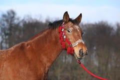 与红色三角背心的美丽的棕色马 库存图片