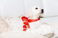 与红色丝带的逗人喜爱的小狗在他的脖子 免版税库存图片