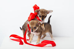与红色丝带的逗人喜爱的小狗奇瓦瓦狗 库存图片