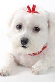与红色丝带的逗人喜爱的小狗 库存图片
