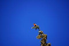 与红色乳房的一只鸟在树顶部 免版税图库摄影