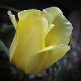 与红色修剪的黄色郁金香 免版税库存图片