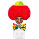 与红色假发和帽子的小丑狗 免版税图库摄影