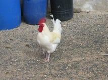与红色冠的一只白色雄鸡 库存图片