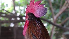 与红色冠的成人雄鸡,好奇雄鸡 影视素材