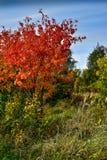 与红色叶子和蓝天的秋天树 库存照片
