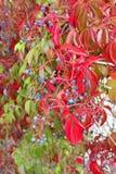 与红色叶子和蓝色莓果的忍冬属植物 库存照片