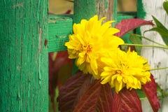 与红色叶子在篱芭,关闭的黄色圆的花 免版税库存照片