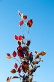 与红色叶子的冷淡的结构树 免版税库存照片