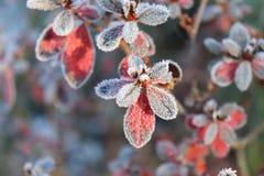 与红色叶子的冻杜娟花 第一霜、冷气候、结冰的水、霜和树冰宏指令射击 及早 免版税库存照片