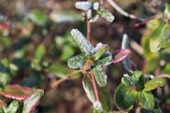 与红色叶子的冻杜娟花 第一霜、冷气候、结冰的水、霜和树冰宏指令射击 早期的冬天 Blurr 免版税图库摄影