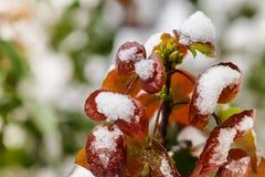 与红色叶子的十大功劳灌木 免版税库存图片