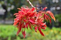 与红色叶子的异乎寻常的树在特里凡德琅特里凡得琅,印度,喀拉拉城市庭院里  免版税图库摄影