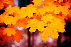与红色叶子的槭树分支 免版税库存照片