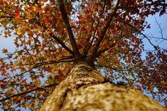 与红色叶子的槭树 免版税库存照片