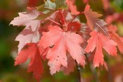 与红色叶子的槭树 库存图片
