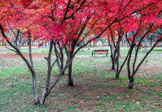 与红色叶子的秋天树 免版税库存图片