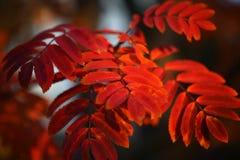 与红色叶子的美好的分支 免版税图库摄影