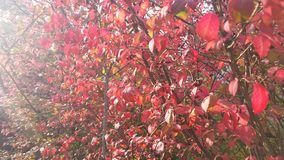 与红色叶子的晴朗的秋天天 库存图片