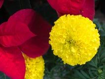 与红色叶子的黄色花 免版税库存图片