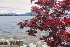 与红色叶子的Acer palmatum 免版税库存图片