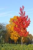 与红色和黄色叶子的树在蓝天在秋天 免版税图库摄影