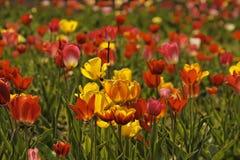 与红色和黄色花的郁金香领域在德国 免版税库存图片