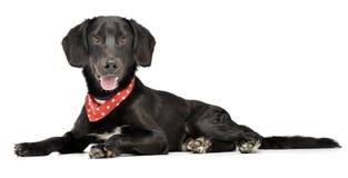 与红色圆点围巾的一条可爱的混杂的品种狗 库存照片