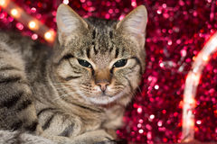 与红色圣诞灯装饰的圣诞节小猫 免版税库存图片