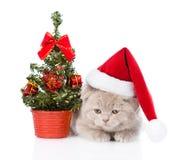 与红色圣诞老人帽子和圣诞树的苏格兰小猫 查出 库存照片