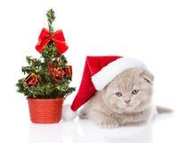 与红色圣诞老人帽子和圣诞树的苏格兰小猫 查出 免版税库存图片