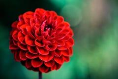 与红色大丽花的抽象背景 免版税库存照片