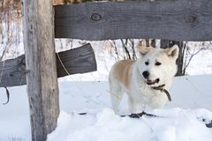 与红色头发日语秋田Inu的聪明的狗在冬天在大随风飘飞的雪中的森林里 库存照片