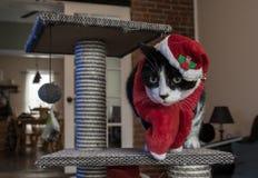 与红色帽子和围巾的圣诞老人猫 免版税图库摄影