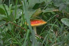 与红色帽子的蘑菇 库存图片