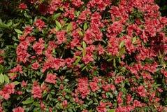 与红色开花的杜娟花灌木 免版税库存图片