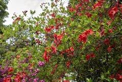 与红色开花的杜娟花灌木 库存照片