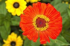 与红色开花的Zinia花 免版税库存图片