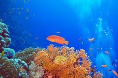 与红色异乎寻常的鱼cephalopholis的珊瑚礁在热带海底部 库存图片