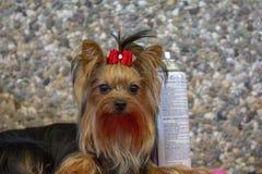 与红色弓的一点约克夏狗,坐在石渣墙壁前面修饰与喷发剂的 免版税库存图片
