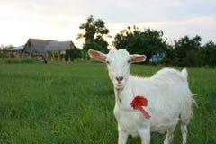 与红色弓的严肃的白色山羊 免版税图库摄影