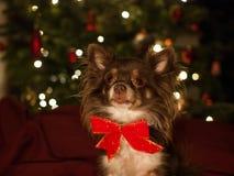 与红色弓,被弄脏的圣诞灯的狗奇瓦瓦狗在背景中 库存照片