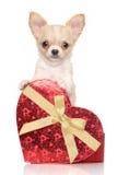 与红色心脏的奇瓦瓦狗小狗 免版税图库摄影