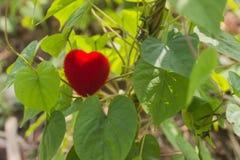 与红色心脏的绿色藤在情人节 免版税库存照片