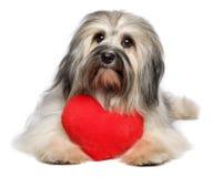 与红色心脏的逗人喜爱的恋人华伦泰Havanese狗 图库摄影