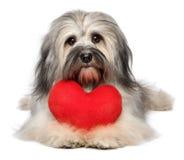 与红色心脏的逗人喜爱的恋人华伦泰Havanese狗 免版税库存图片